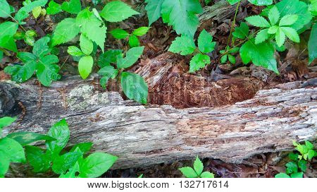 Dead, dry, rotting log surrounded by beautiful green leaves