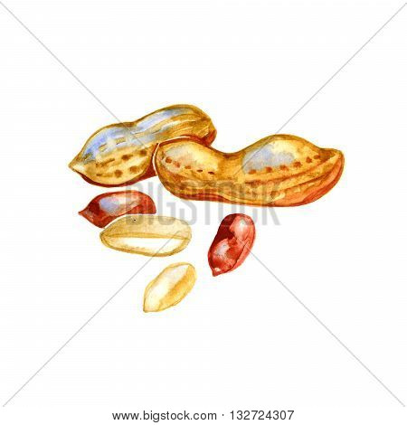 Watercolor image of peanut in nutshell and kernel of peanut.