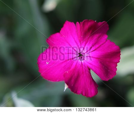 The bright cerise pink flower of Silene coronaria also known as Rose campion or Dusty Miller.
