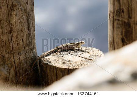 Small lizard posing on tree stump in Razan region Russia.