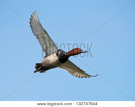 Common pochard (Aythya ferina) in flight with blue skies in the background