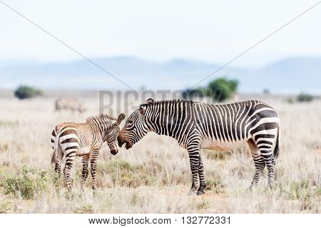A mountain zebra mare Equus zebra zebra with open mouth as if talking with foal