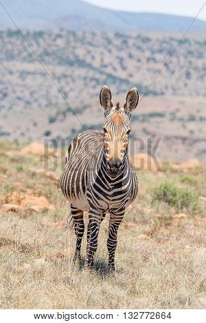 A pregnant mountain zebra mare Equus zebra zebra near Cradock in South Africa