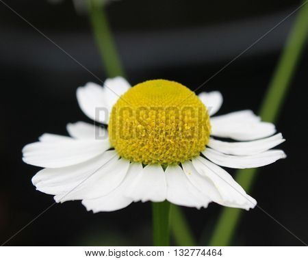 Close up of the flower of Matricaria recutita also known as German Chamomile against a dark background.