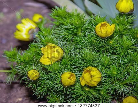 Adonis Perennial, Yellow Flowers Bloom In Spring In The Garden,