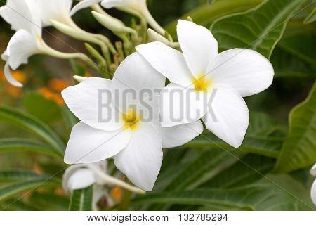 White Frangipani Plumeria pudica or Bridal Bouquet in nature poster