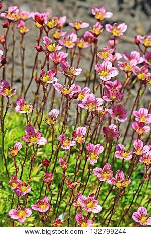 Groundcover garden plant - Arends Saxifraga (Saxifraga arendsii). A group of flowering plants with pink flowers