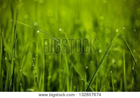 Green grass. Dew drops close-up on fresh green spring grass. The sun. Abstract nature background