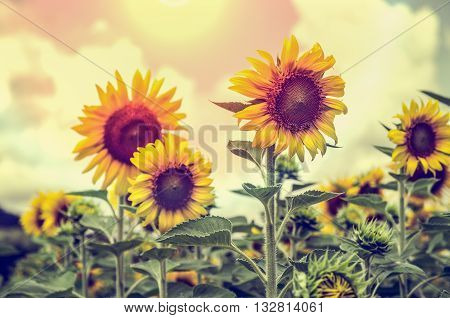 Vintage style many yellow flower of the Sunflower or Helianthus Annuus blooming under sunlight and the sun shines in the field on sky background Thailand