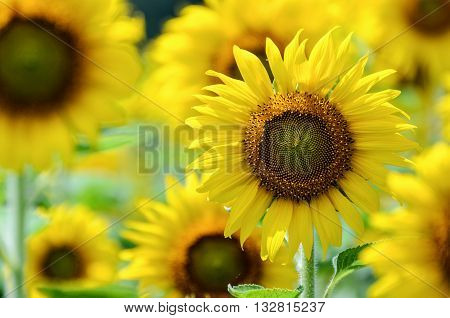 Many yellow flower of the Sunflower or Helianthus Annuus blooming in the farm Thailand