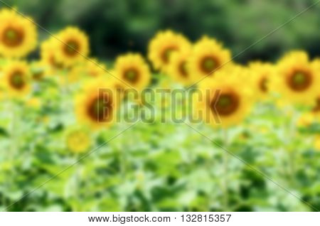 Blur background group yellow flower of the Sunflower or Helianthus Annuus blooming in the farm Thailand
