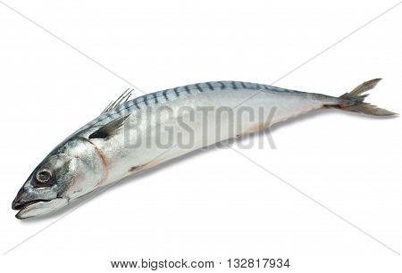 Fresh large mackerel on a white background isolated.