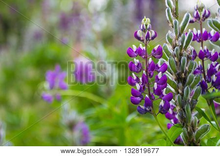A garden with beautioful purple lupinus flowers