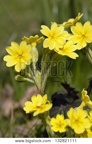 False Oxlip - Primula x polyantha Natural hybrid of Primrose and Cowslip