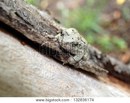 Treefrog On Tree