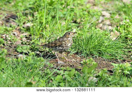Bird Song Thrush (Latin Turdus philomelos) - A small songbird of the thrush family.