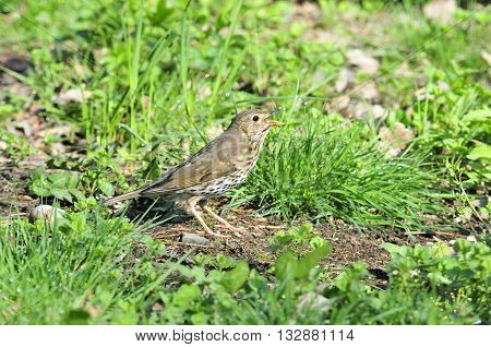 Bird Song Thrush (Latin Turdus philomelos) - A small songbird of the thrush family. Bird eating a worm.