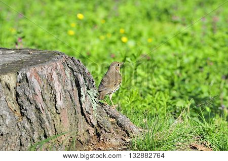 Bird Song Thrush (Latin Turdus philomelos) - A small songbird of the thrush family.
