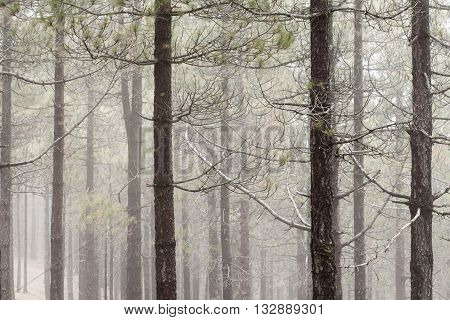 Natural Background Of Canarian Pine Tree Trunks