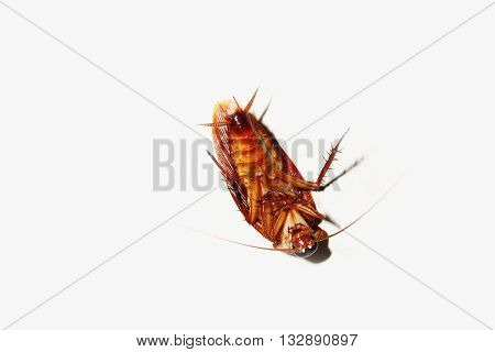 Cockroach on white background the supine position