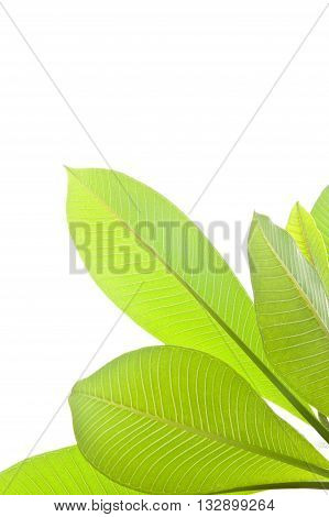 Plumeria leaves isolated on the white background.