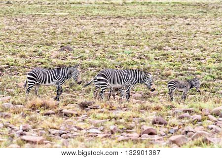 Two wet mountain zebra mares Equus zebra zebra with foals near Cradock in South Africa
