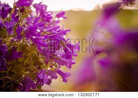 Beautiful flowers background with purple campanula flowers