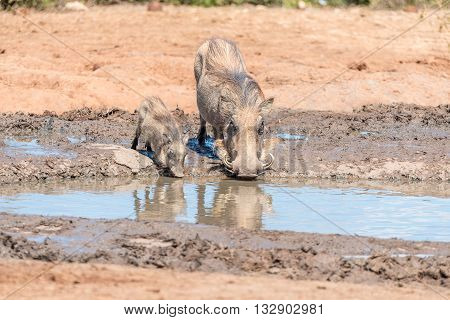 A common warthog sow and piglet Phacochoerus africanus drinking water