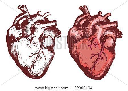 Human heart anatomical heart hand drawn vector illustration