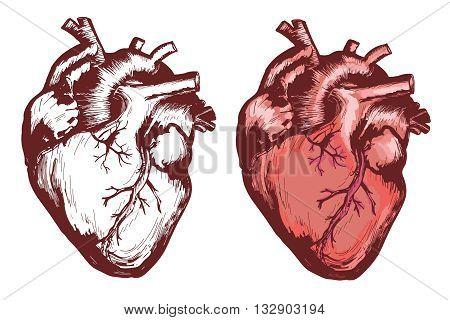 Human heart anatomical heart hand drawn vector illustration