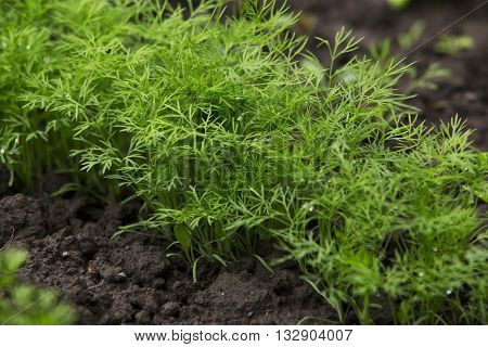 the green dill growing in a kitchen-garden
