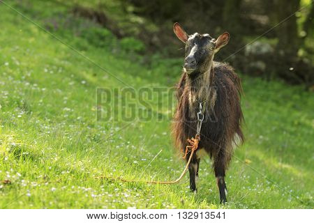 Funny brown domestic goat gawks standing on a green grass