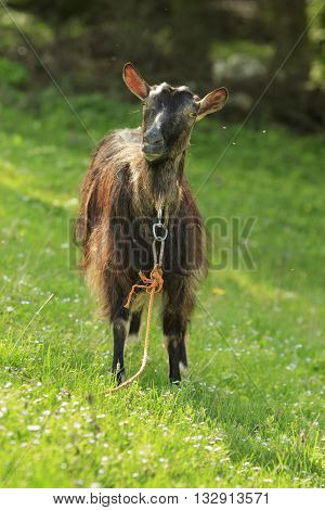 Dark long-haired goat stands on a green grass and looks
