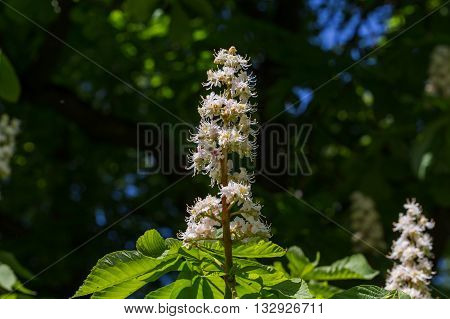 Flowering Branches Of Chestnut Tree