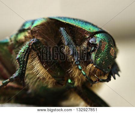 Close-up portrait of a rose beetle Cetonia Aurata