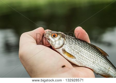 fishingfish roach in the hand of angler at shore