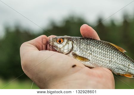 fishing fish roach in the hand of angler at shore