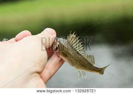 fishingsmall fish ruff in the hand on shore at summer