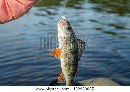 fishingfish perch in the hand of angler at shore