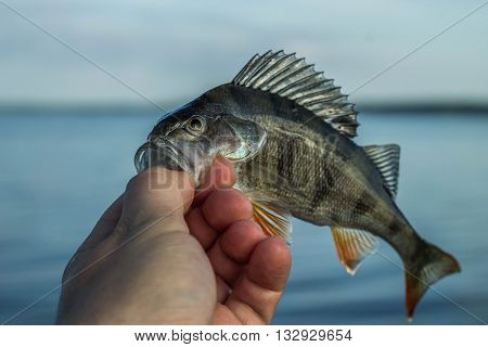 fishing, fish perch in the hand of angler at shore