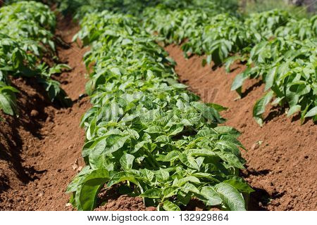 Field of potato haulm in Tenerife rural place, Canarian domestic product