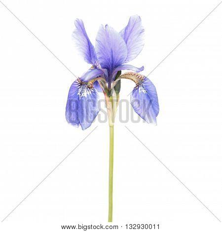 Blue Iris isolated on white background. Siberian iris (Iris sibirica) flower