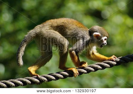 Common Squirrel Monkey (Saimiri sciureus) on rope