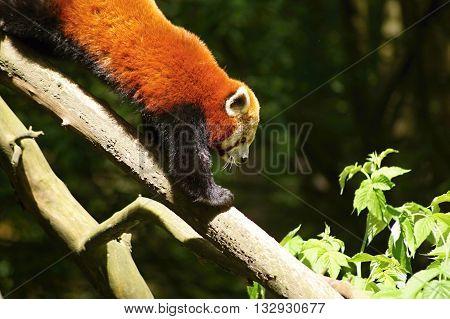 Red Panda firefox lesser panda Ailurus fulgens
