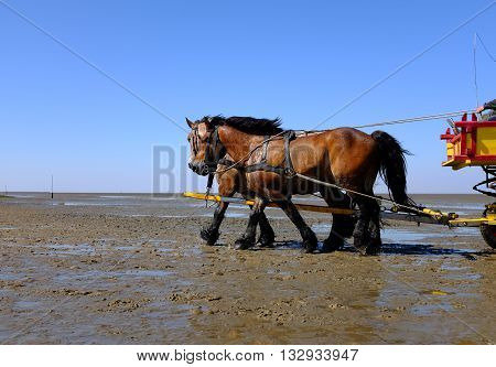 Two horses pulling a carriage in the intertidal zone in the North Sea