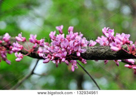 Cercis European, or European Tsertsis, or Judas tree (lat Cercis siliquastrum.) - Trees or shrubs, species of the genus Cercis the legume family (Fabaceae).