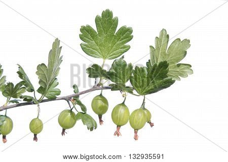 Gooseberry branch with green berries. Green gooseberries isolated on white background