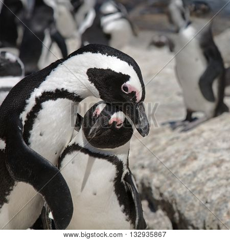 African Penguin (Spheniscus demersus) also known as the Black-footed Penguin or Jackass Penguin