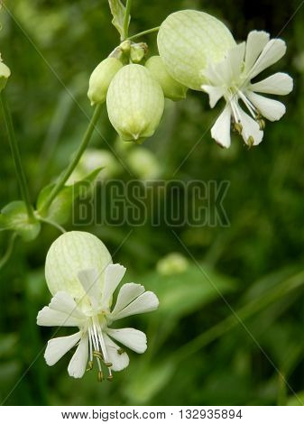 Close up of Silene vulgaris (The bladder campion or Maidens tears) growing wild in a meadow