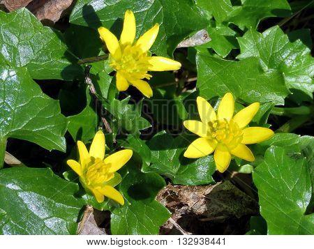 Lesser Celandine flowers in Mclean near Washington DC 14 April 2016 USA